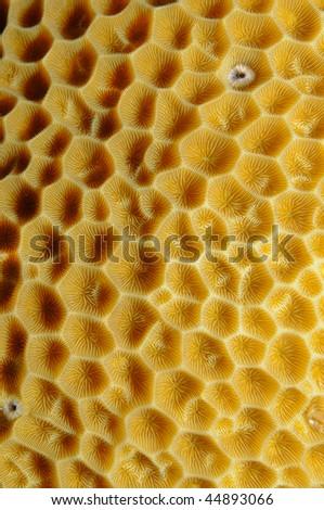 Trachyphyllia, brain coral - stock photo