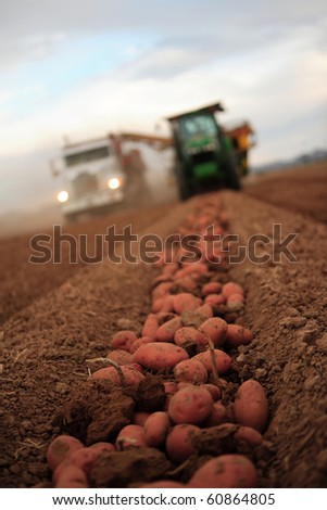 Tractor and combine harvesting red potatoes and placing them in a truck for transport. - stock photo