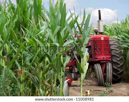 tractor and rooster in corn field - stock photo