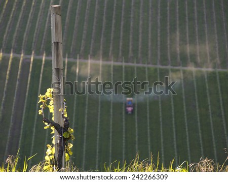 Tractor in vineyard spraying chemical insecticide, focus on grapevine leaves in foreground lit by the sun, shallow depth of field   - stock photo