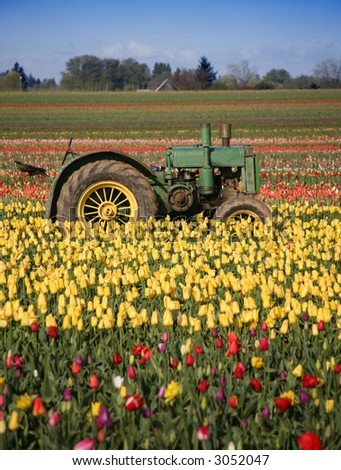 Tractor Sitting in Rows of Tulips Growing in Field Rural Oregon Community - stock photo