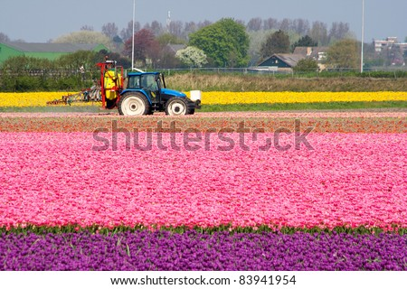 Tractor spraying water in a tulipfield in Holland - stock photo