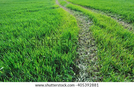 tractor trace on  crushed wheat seedlings  in a field