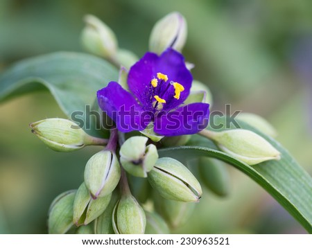 Tradescantia reflexa with many buds