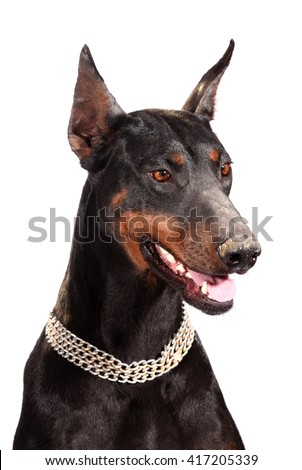 Traditional black Doberman Pinscher with cropped ears - stock photo