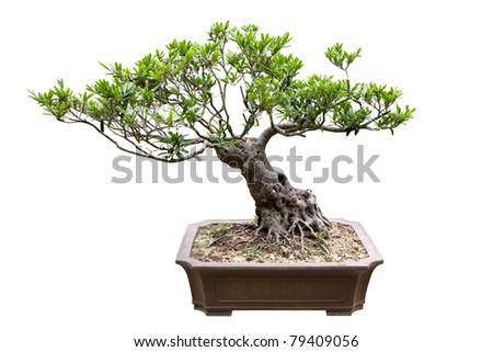 traditional bonsai tree isolated on white - stock photo
