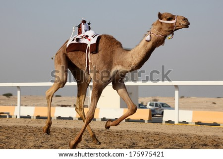 Traditional camel race in Doha, Qatar, Middle East - stock photo