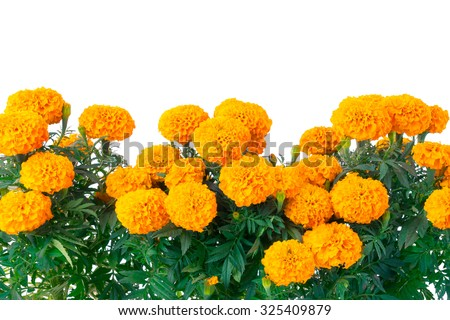 "traditional cempasuchil flowers used for altars at ""day of the dead"" in Mexico - stock photo"