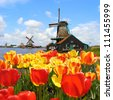 Traditional Dutch windmills with vibrant tulips at Zaanse Schans, Netherlands - stock photo