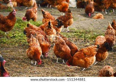 Traditional free range poultry farming - stock photo