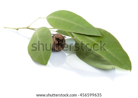 Traditional medicine: Green Eucalyptus branch  with leaves and seed isolated on white background