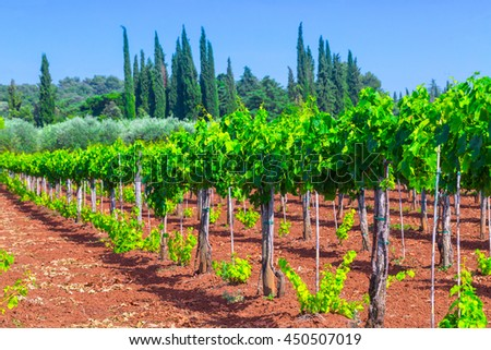 Traditional Mediterranean vineyards. Rows of vines on the farm. Traditional European Mediterranean Agriculture. - stock photo