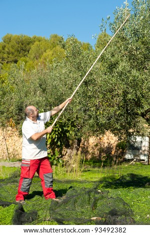 Traditional olive harvest, using poles and nets