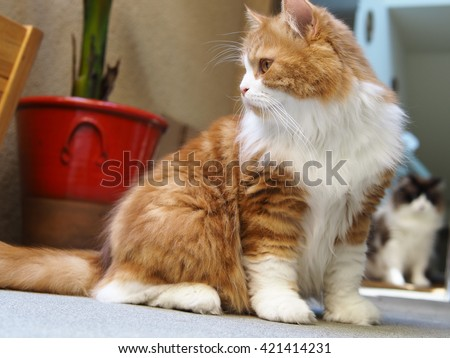 Traditional Orange White Bi Color Doll Face Persian Cat Sitting Looking Side Ways with Ragdoll Cat Friend in Background   - stock photo