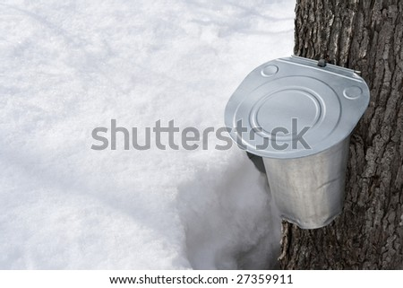 Traditional way of collecting maple sap for producing maple syrup. - stock photo