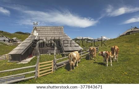 Traditional wooden hut and cows on mountain Velika planina, tourist destination, Slovenia - stock photo