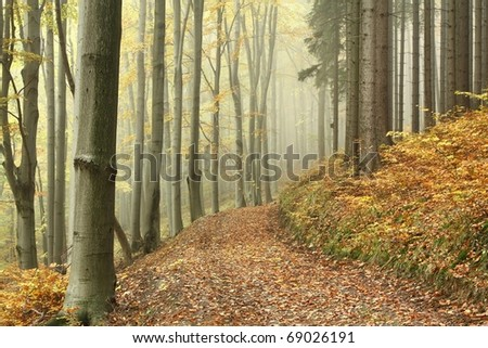Trail in misty autumn forest on the border between coniferous and deciduous trees. - stock photo