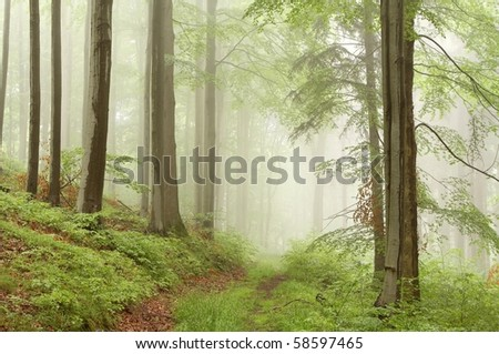 Trail leading through the beech forest on a foggy morning in the mountains.