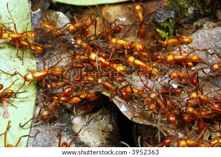 trail of army ants - stock photo