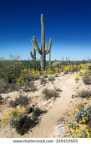 Trail of blooming Sonoran Desert in Saguaro National Park, Arizona, USA - stock photo