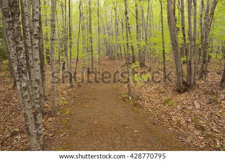 Trail through a Beech grove in Nova Scotia. Trunks show the scarring from Beech Bark Disease. - stock photo