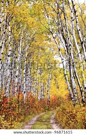 Trail through Aspen grove - stock photo