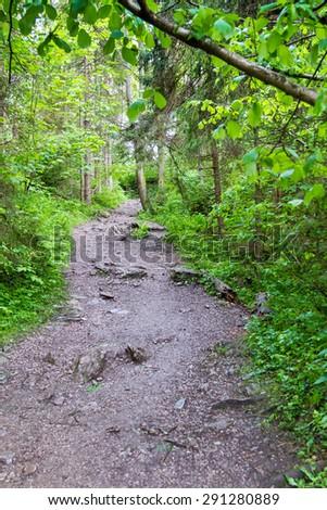 Trail through tall trees in a lush forest, Pieniny mountains, Poland - stock photo