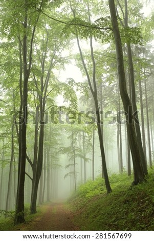 Trail through the beech forest on a foggy, rainy morning. - stock photo