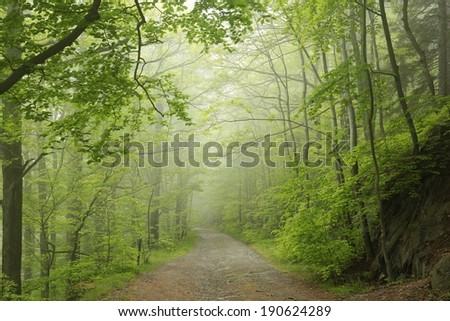 Trail through the foggy spring beech forest. - stock photo