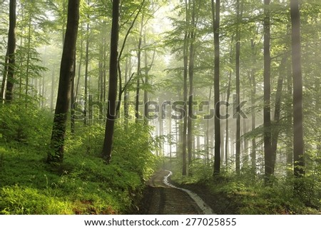Trail through the spring beech forest at dawn. - stock photo