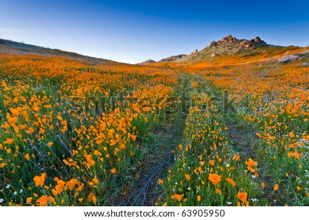 Trail with blazing poppies flowers field - stock photo