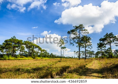 trails in pine forest with meadow and blue sky most cloudy