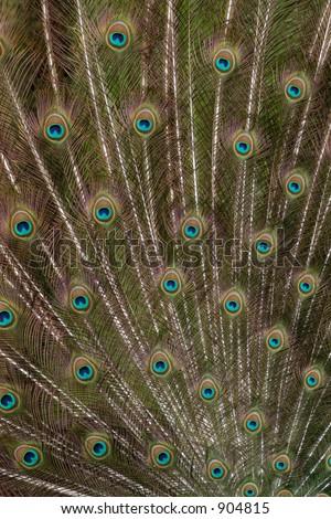 Train of a male peacock (Pavo cristatus) - stock photo