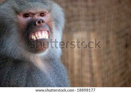 Trained baboon giving a big smile - stock photo