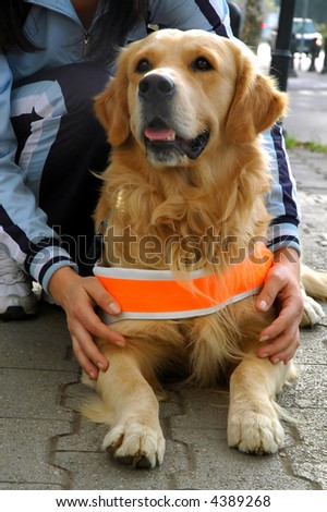 Trained dog resting. Helper to blind person.