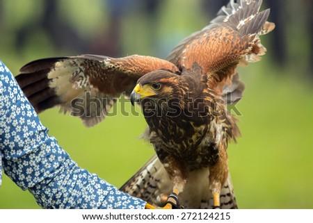 trained harris hawk - stock photo