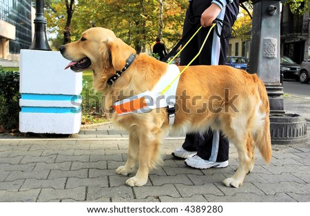 Trained seeing eye dog.