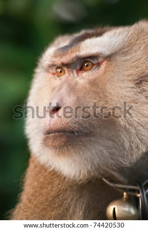 trained thai monkey for coconut farm in different position