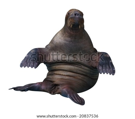 Trained walrus isolated on white