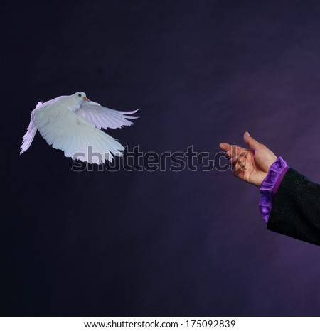 Trained white dove flying to magician hand  - stock photo