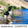 Training a hunting dog on the water. Russian Spaniel - stock photo