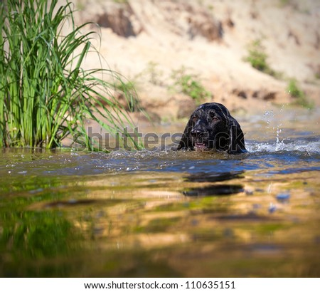 Training a hunting dog on the water. Russian Spaniel