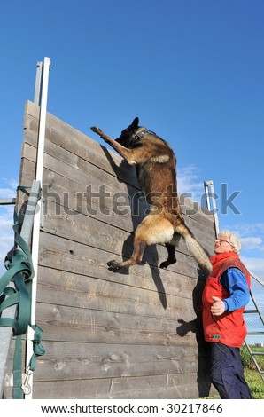 training of a police dog with a purebred belgian shepherd malinois - stock photo