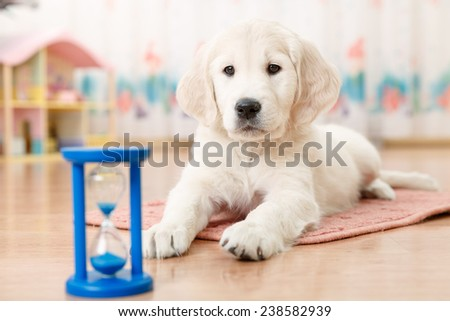 training of golden retriever puppy watching at the hourglass - stock photo