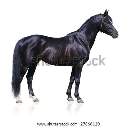 Trakehner black stallion isolated on white - stock photo