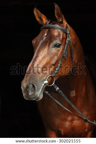 Trakehner horse with classic bridle on dark stable background - stock photo