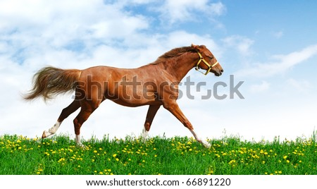 Trakehner sorrel stallion gallops in field