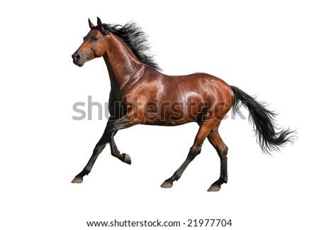 trakehner sorrel stallion- isolated on white - stock photo