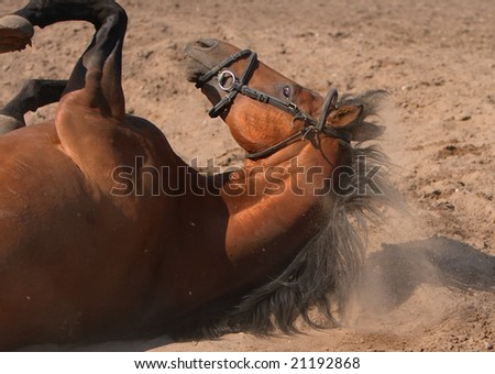 trakehner stallion against the backdrop of the sand