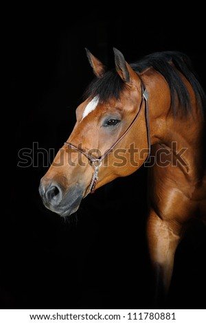 Trakehner stallion (photo taken outside with studio lightning) - stock photo